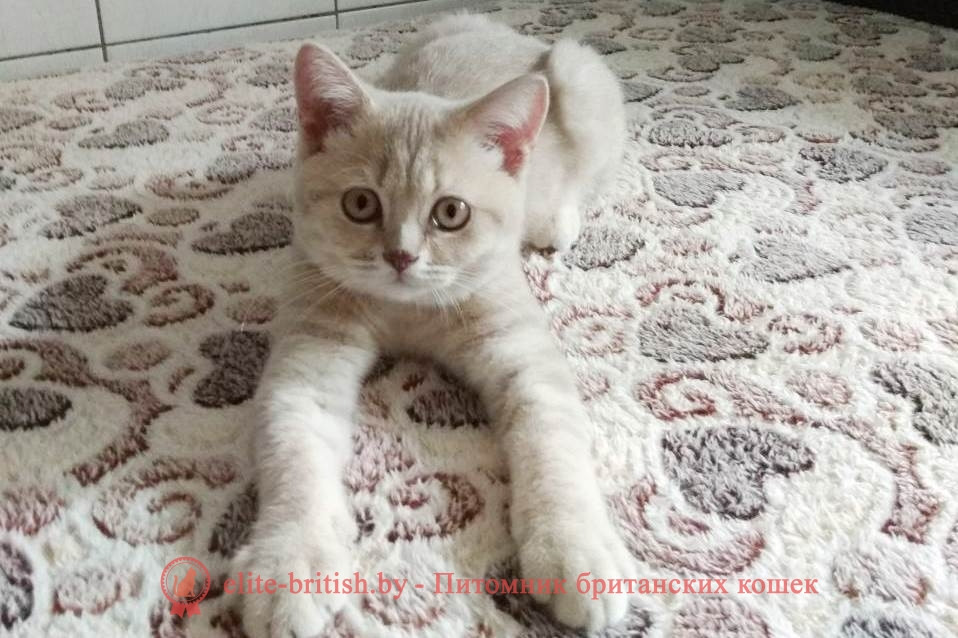 Британский котенок Джастин лилового пятнистого окраса, помет от 27.04.2018