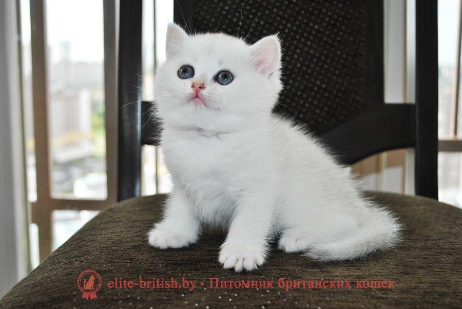 Серебристая и золотая шиншилла британские котята, помет от 31.07.2018