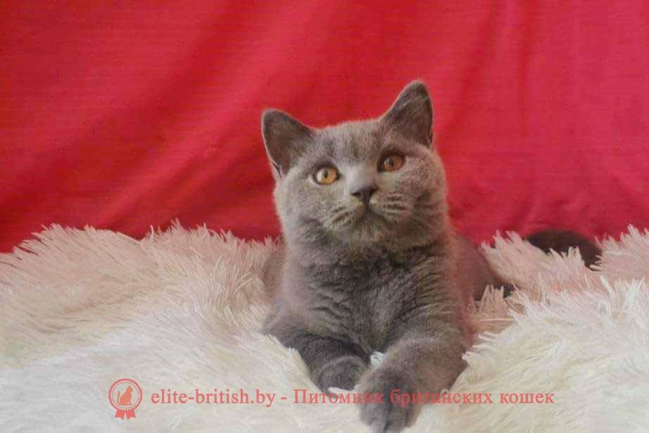 Британский котенок голубогоо окраса Мимикей от 01.04.2018г