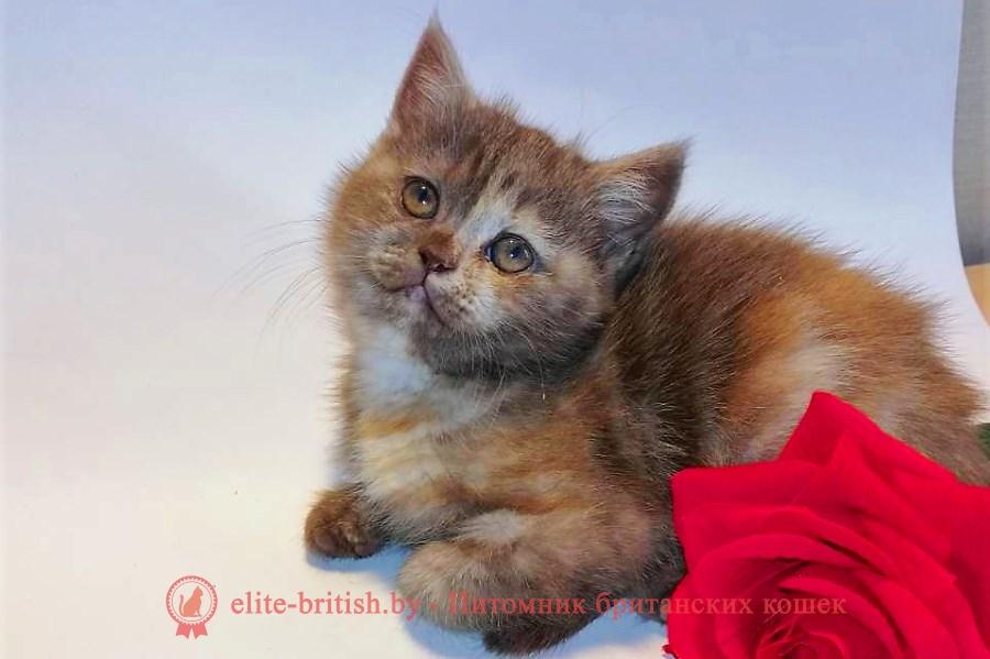 Британский котенок черепахового окраса, помет от 22.04.2018
