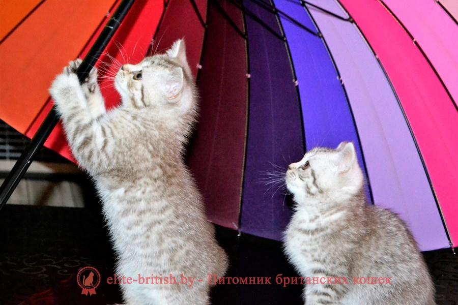 Британские котята Хаммер и Хеннесси шоколадного серебристого пятнистого окраса, помет от 22.04.2018
