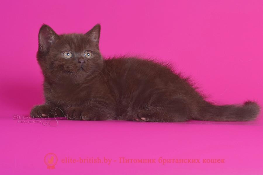"Британский котенок шоколадного окраса Аврора, помет ""A"" BellaJes от 06.04.2018г"