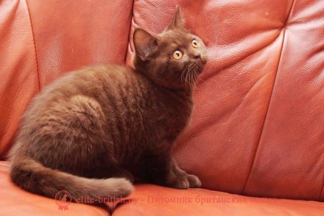 Британский котенок Орландо шоколадного окраса, помет от 15.05.2018