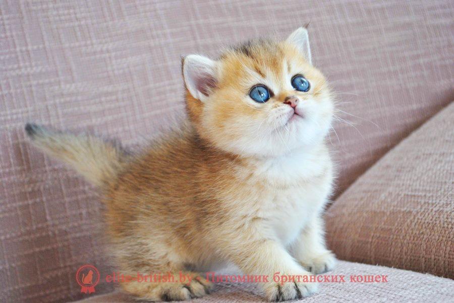 Патрик - золотая шиншилла, британские котята, помет от 31.07.2018
