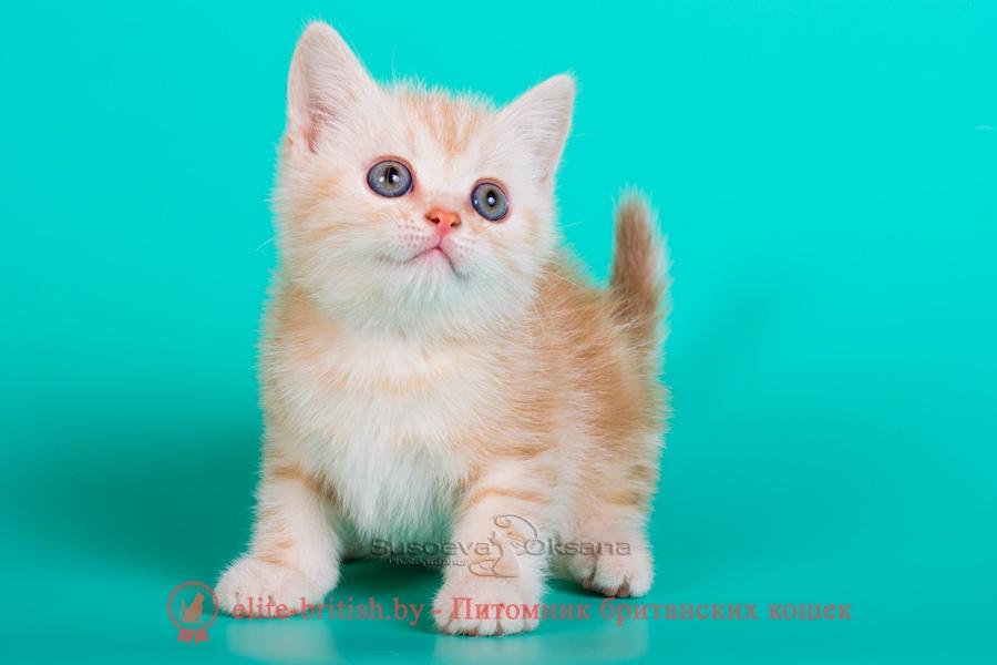 Британский котенок красный серебристый мрамор- Принц, помет от 21.07.2018