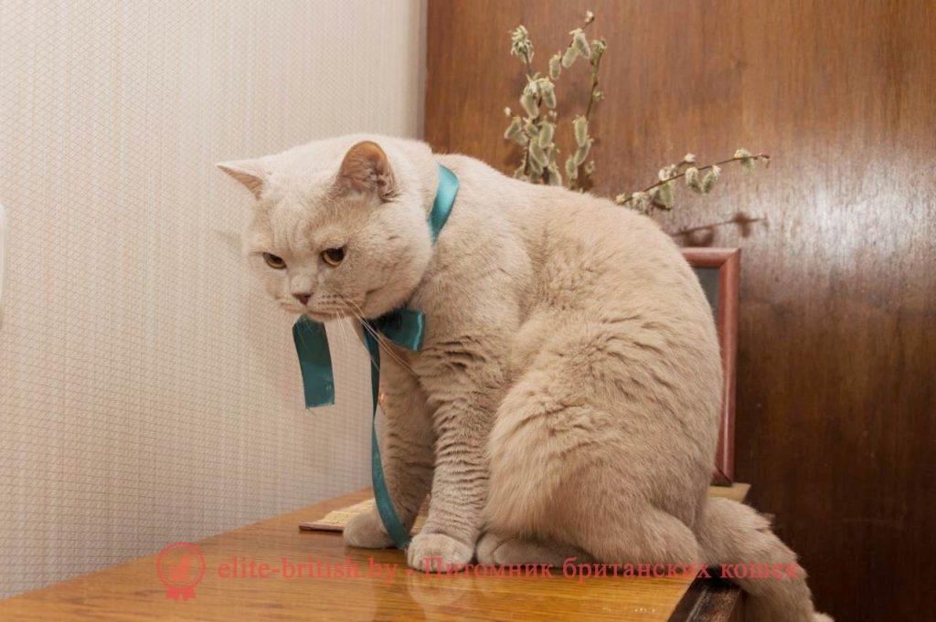 Вязка британского кота фавн окраса Garfield