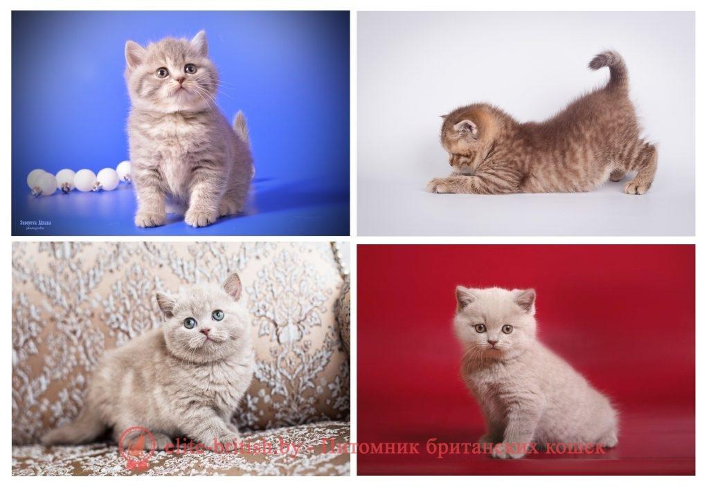Британские котята циннамон, фавн, голубой окрасы, помет от 31.08.2018