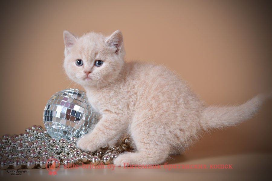 Британский котенок кремового (персикового окраса)