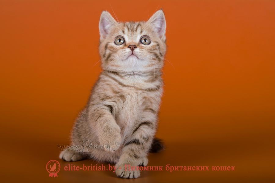 Британские котята, шоколадный пятнистый окрас, помет от 7.07.2018