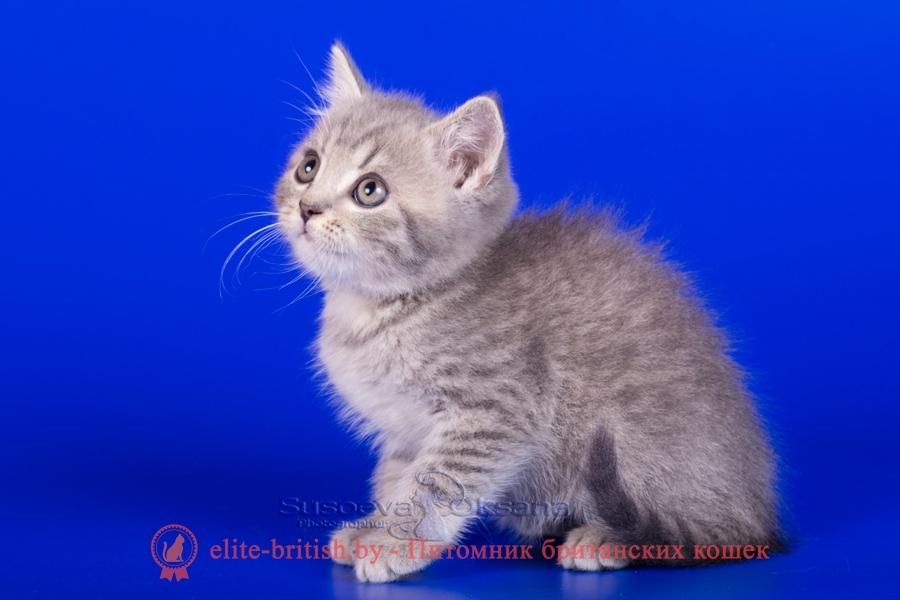 Британские котята, голубой пятнистый окрас, помет от 7.07.2018