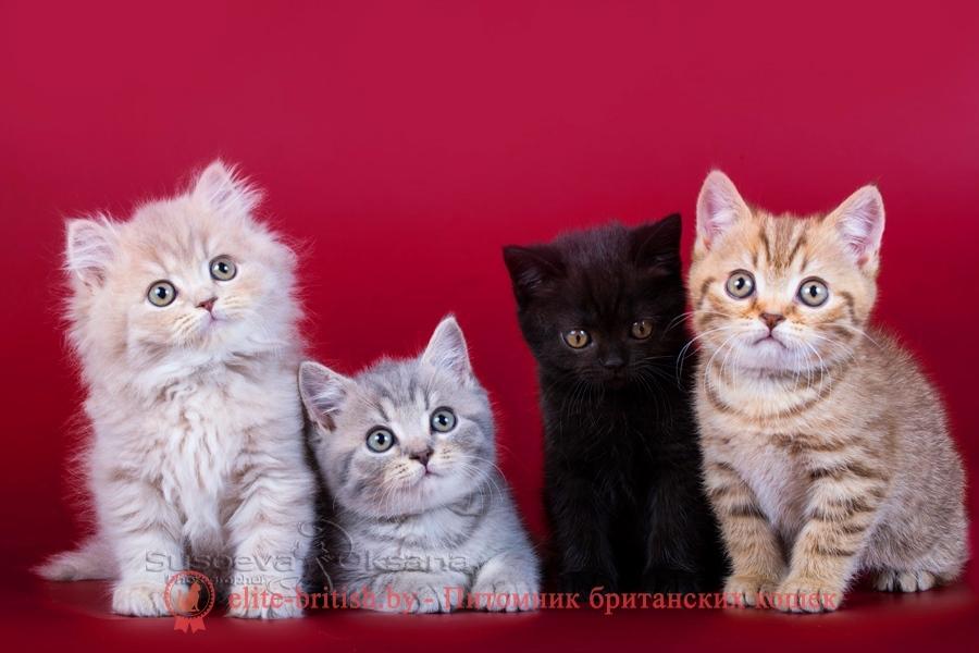 Сибирская кошка: фото, характер, описание породы | 600x900