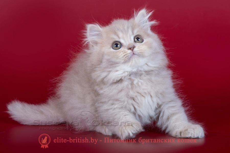 Британские котята, лиловый пятнистый окрас, длинношерстный, помет от 7.07.2018