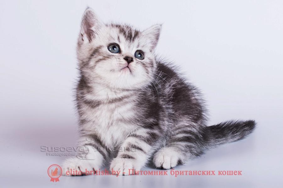 Британские котята Пегас, Пират, помет от 21.07.2018, окрас черный серебристый мраморный