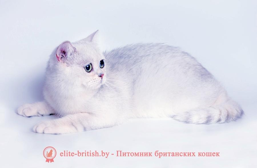Британский котенок серебристый затушеванный Лексус от 10.01.2018г