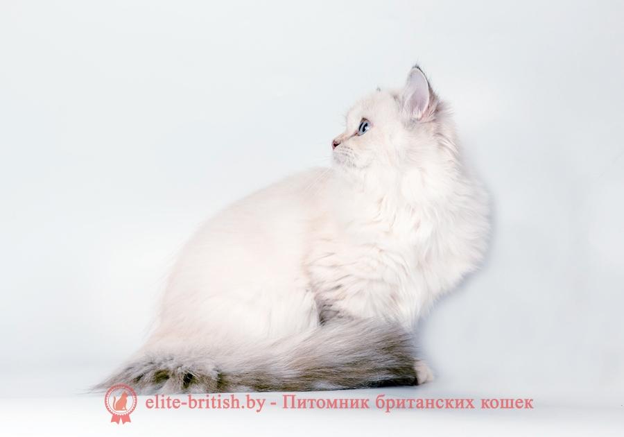 Британский котенок длинношерстный пойнт с голубыми глазами Наоми от 22.04.2018г
