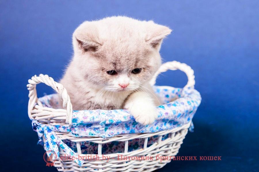 Британский котенок лилового биколор (персикового окраса)