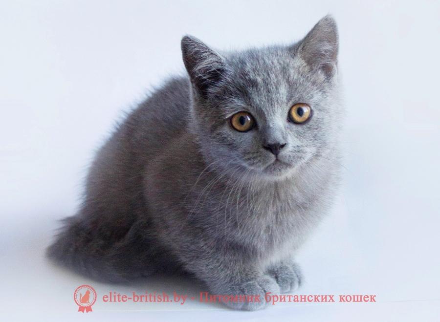 Британские котята голубого окраса, помет от 24.07.2018