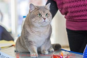 Британский кот голубое золото Int.Ch. Akbusat Shulgan Tasch (BRI ay 25)