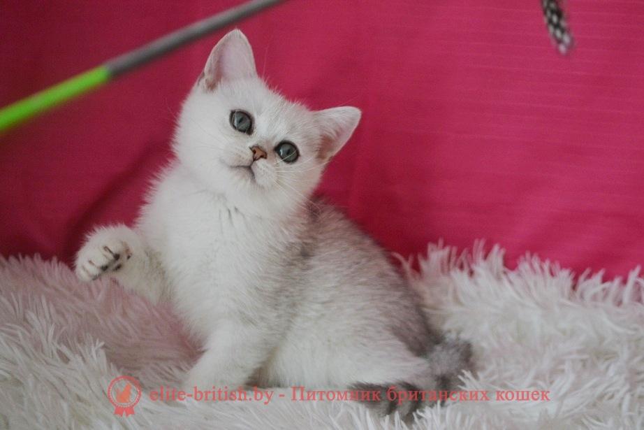Оникс и Орландо -Британские котята, серебристый затушеванный окрас, от 22.06.2018г
