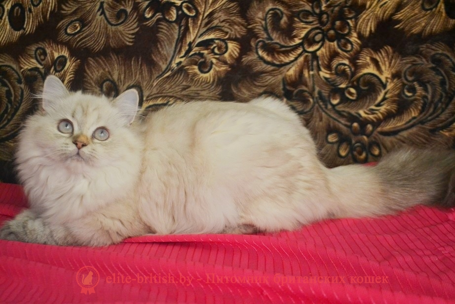 Купить: Британский котенок длинношерстный черепаховый пойнт с голубыми глазами Наяда от 22.04.2018г