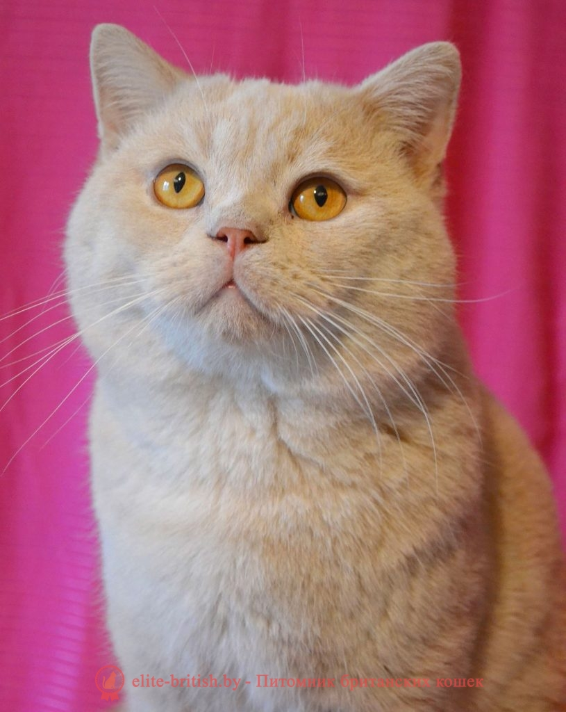 Улис -Британский кот кремового окрас