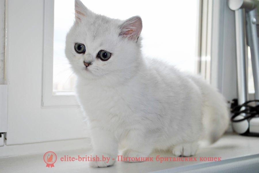 Пенелопа - золотая шиншилла, британские котята, помет от 31.07.2018