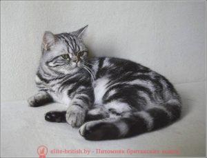 Британский кот Ajani Irabell*BY (BRI ns 22 64)