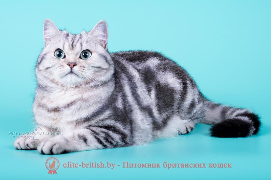 Британский котенок Klassi (Клэсси), окрас серебристый мраморный с зелеными глазами (BRI ns 22 64)