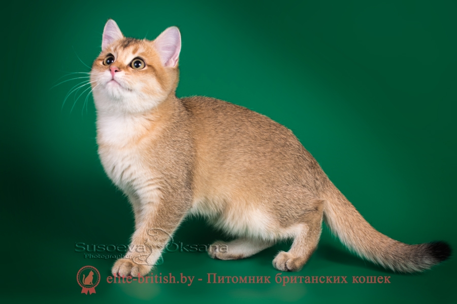 Фаина и Фиона - золотая шиншилла, британские котята, помет от 17.06.2018