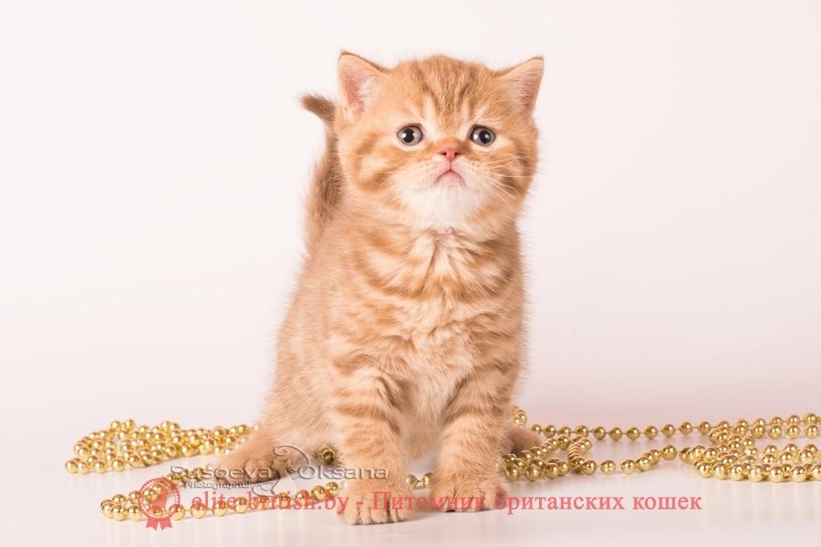 "Британский котенок - циннамон пятнистый мальчик Nael', помет ""N""от 31.08.2018"