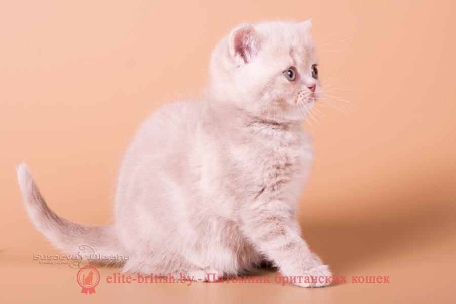 "Британский котенок - фавн мраморный мальчик, помет ""N""от 31.08.2018"