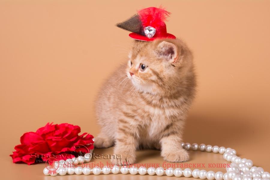 """Британский котенок Наоми - циннамон пятнистая девочка, помет """"N""""от 31.08.2018"""