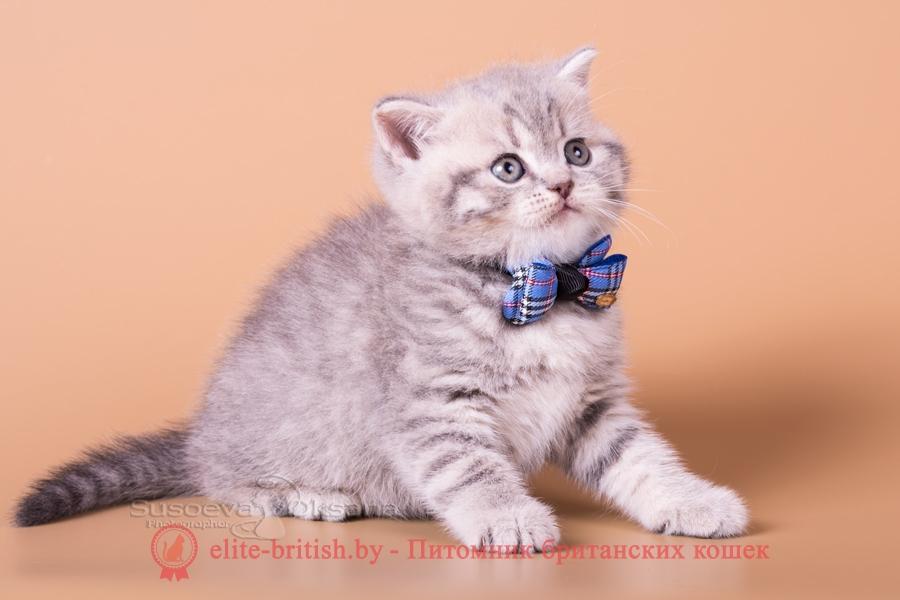 """Британский котенок - голубой пятнистый мальчик NIKOLAS, помет """"N""""от 31.08.2018"""