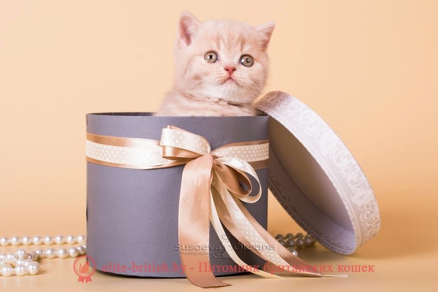 "Британский котенок - фавн мраморный мальчик Ньютон, помет ""N""от 31.08.2018"