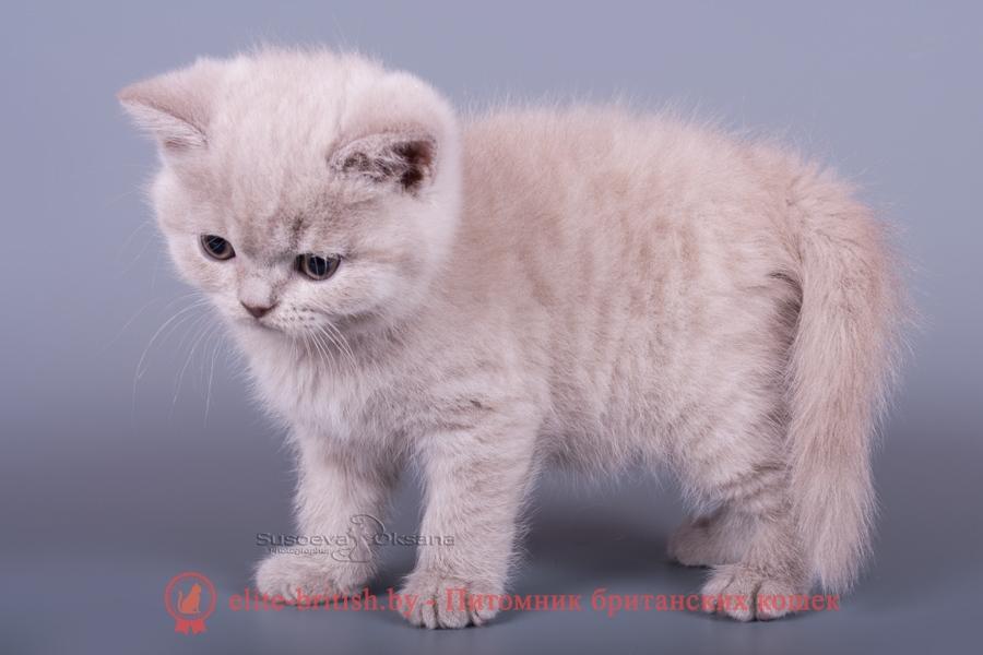 """Британские котята лилового окраса, помет """"D"""" от 13.08.2018"""