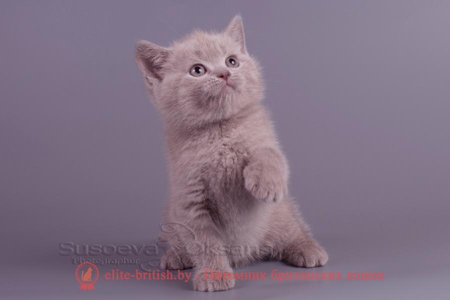 Британский котенок Элвис лилового окраса, помет от 28.08.2018г