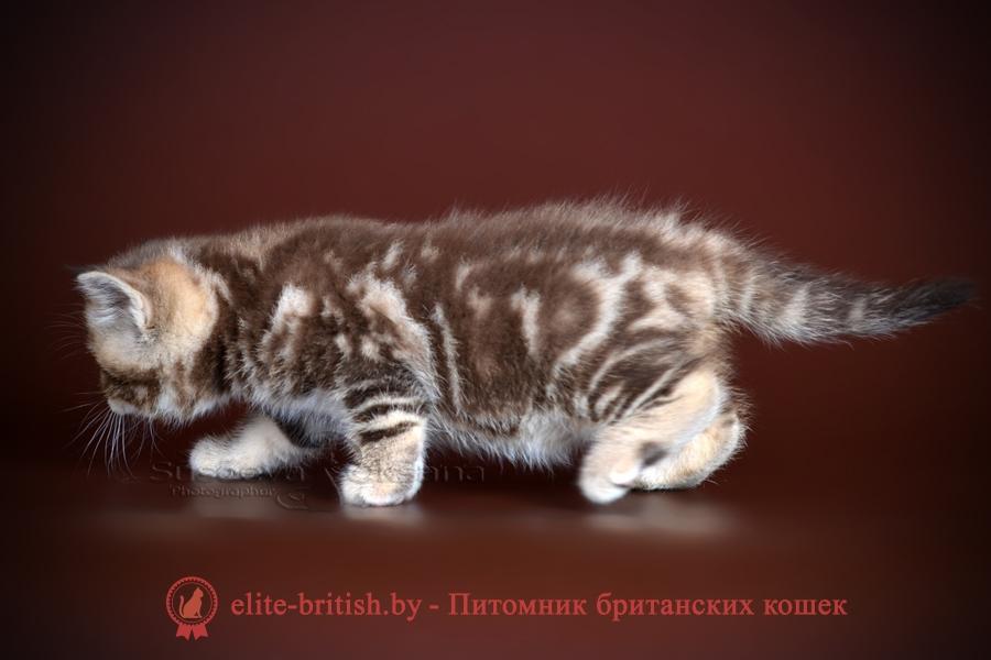 Максимус - Британские котята помет от 26.05.2018, окрасы шоколадный мрамор
