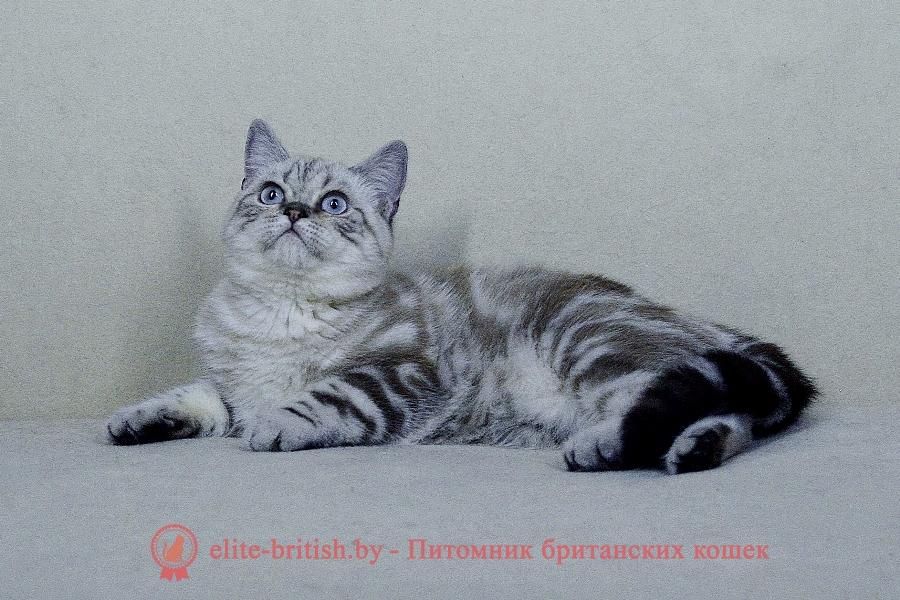 Британский котенок пойнт табби окраса Hammy Irabell (Хэмми)