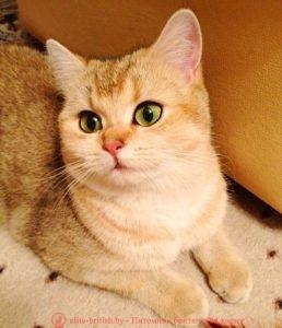 Британская золотая кошка CH. Imperial Alice (BRI ny 25)