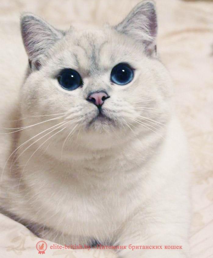 Британский котенок черный серебристый затушеванный пойнт с голубыми глазами Andie