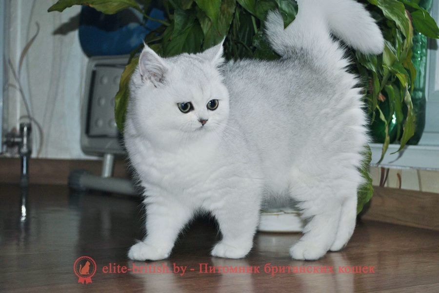 Серебристая шиншилла Персей, британские котята, помет от 31.07.2018