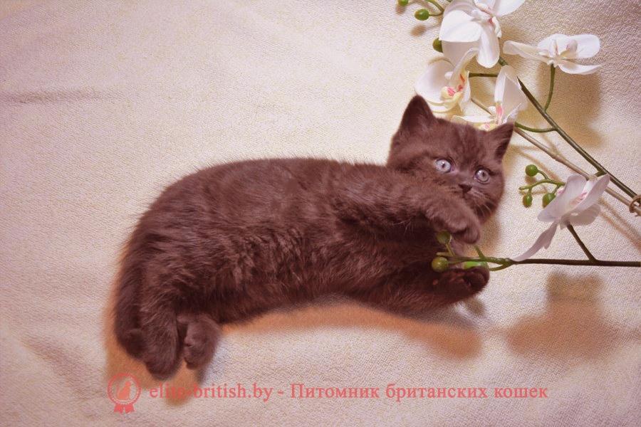 Британский котенок шоколадного окраса , помет 7.10.2018