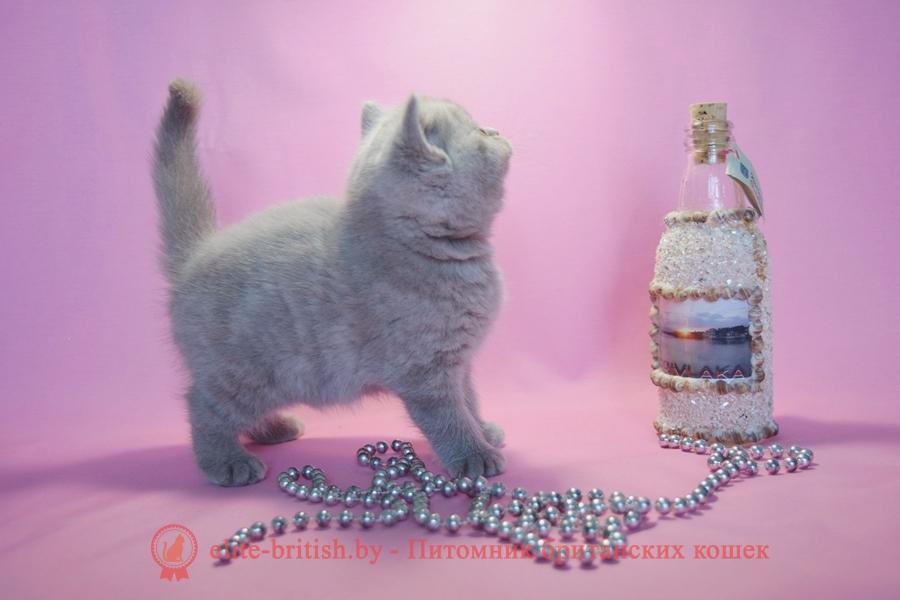 Британские котята лилового окраса, помет 7.10.2018