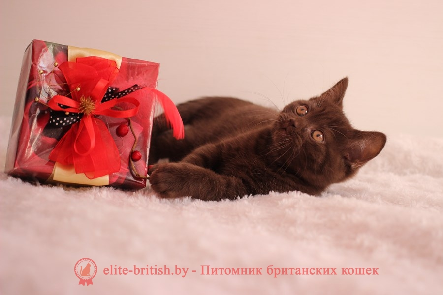 Британские котята лилового и шоколадного окраса, помет от 13.09.2018