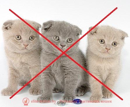 Британская вислоухая: характеристика и описание породы кошки