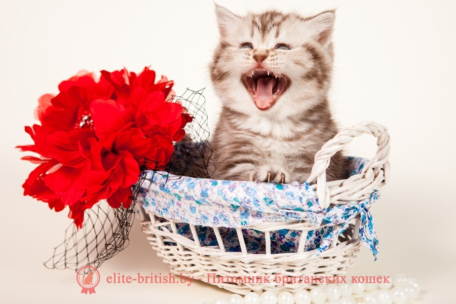 когда у котят меняются зубы смена зубов у котят, когда у кошек меняются зубы, когда меняются зубы у котов, меняются ли у кошек зубы, смена зубов у кошек, какие зубы меняются у котят, смена зубов у котов, меняются ли зубы у котов, смена зубов у котят симптомы, меняются ли зубы у котят, у котенка меняются зубы симптомы, смена зубов у котят возраст, кошки меняют зубы, смена зубов у кошек возраст, смена молочных зубов у котят, меняют ли кошки зубы, смена молочных зубов у кошек, у кота меняются зубы симптомы, смена зубов у котят фото, смена зубов у британских котят, молочные зубы у кошек