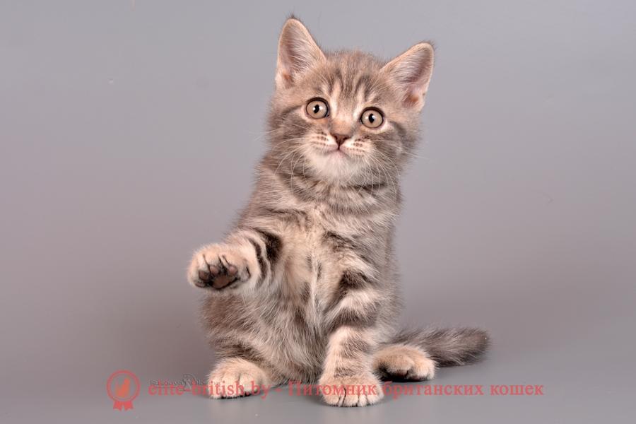 Британский котенок голубого мраморного окраса