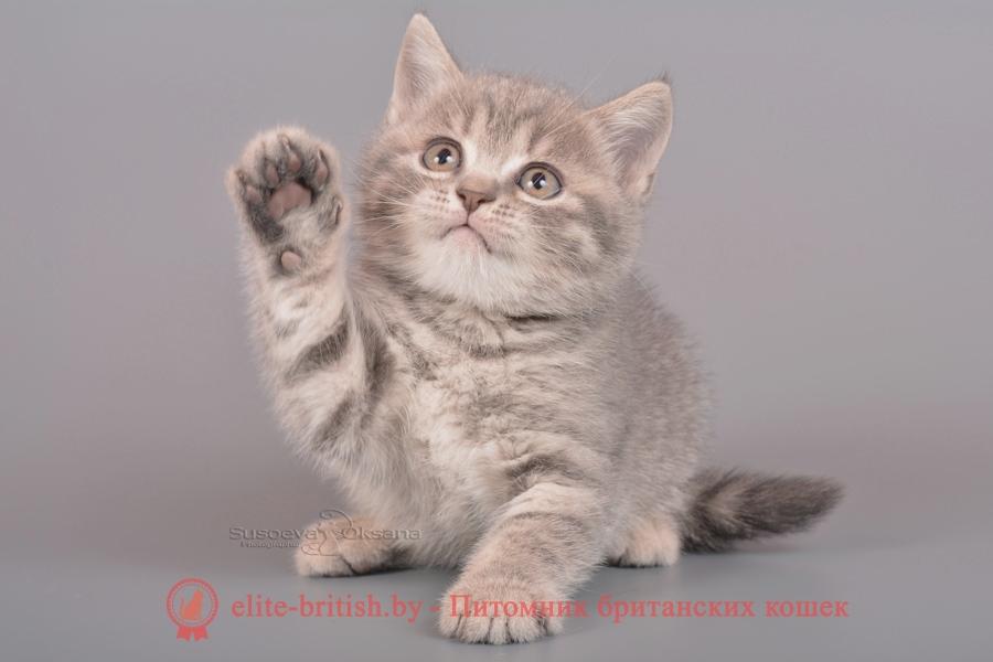 Британский котенок голубого пятнистого окраса