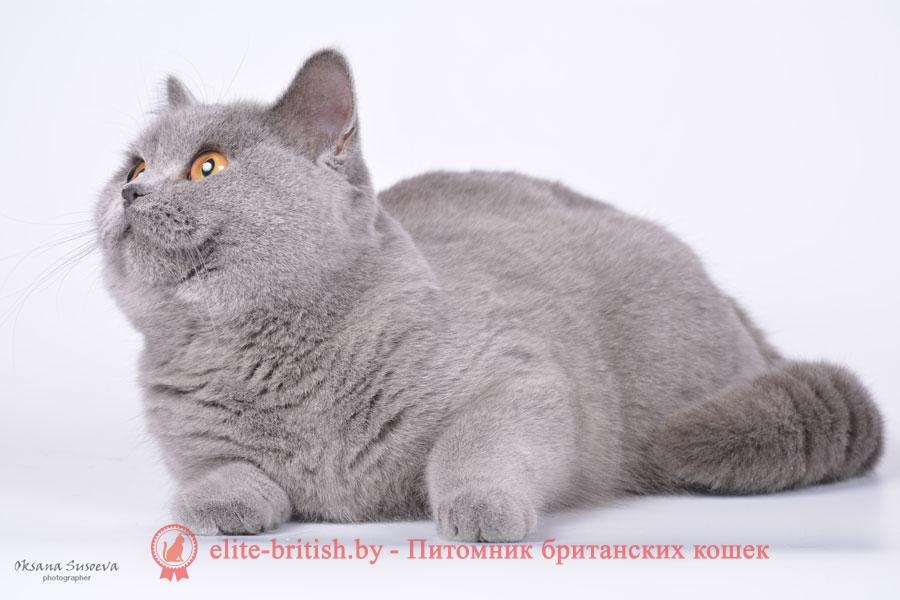 британец голубой фото