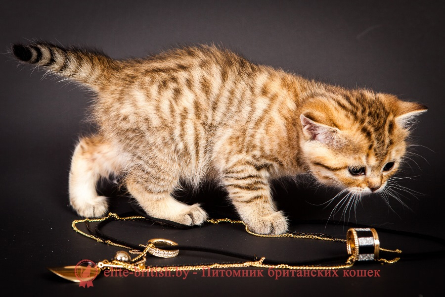 купить британского котенка, купить британца, золотой британский кот, золотые британцы фото, золотой британец, британская кошка золотая шиншилла, британский кот шиншилла золотая, золотой тикированный британец, британец золотая шиншилла, британец золотистый, котята британские окрас золотая шиншилла, британская кошка золотая шиншилла фото, британец окрас золотая шиншилла фото, британский золотой котенок, британская золотая кошка, британские котята золотая шиншилла, британский золотистый кот, кот золотой британец, британцы окрас золотой, британцы окрас золотая шиншилла, котята британцы золотая шиншилла, золотистые британские котята, британские котята золотого окраса, британцы золотая шиншилла фото, золотой окрас британских кошек, британцы золотого окраса, британские котята золотого окраса, британец окрас золотая шиншилла, британские котята окраса золотая шиншилла, питомник британских кошек золотых окрасов, британец окрас золотая шиншилла фото, затушеванный британец, серебристый затушеванный британец, кошки британские серебристые, британская короткошерстная окраса серебро, золотой тикированный британец, британская кошка тикированная, тикированный британец